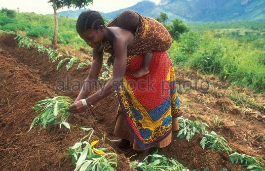 woman-planting-sweet-potatoes-morogoro-district-tanzania-afe8ty